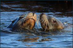 California Sea Lions - La Jolla Beach, California