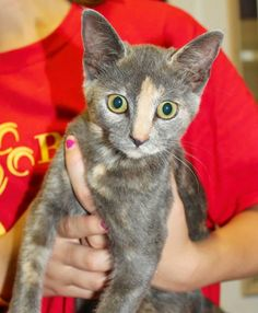 Meet Lady Gray, a Petfinder adoptable Domestic Short Hair Cat | Enterprise, AL | Lady Gray is a pretty 4 month old dilute Calico kitten. She is a sweetie!Behavior and personalities...