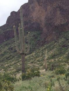 Giant Saguarro