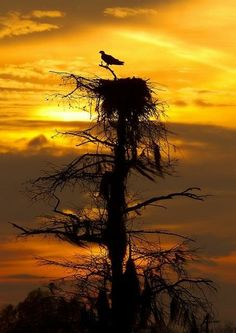 Osprey on a Nest at Sunset