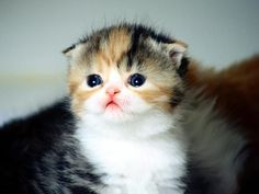 Scottish Fold kittens should be illegal as they are too cute!!