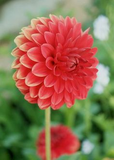I love straw flowers they feel like paper and come in pretty variegated dahlias google search mightylinksfo