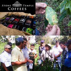 Stone Temple Coffee Company's Coffee Leaf Rust Mission