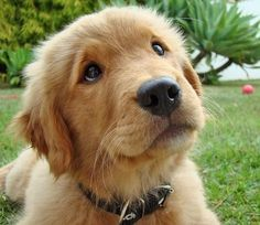 Golden Retrievers are the cutest puppies ever!! - DEFINITELY a weakness !! want to take them all home with me !!