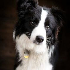 "The oval eyes are the focus of an intelligent expression—an intense gaze, the Border Collie famous ""herding eye,"" is a breed hallmark. Love Pet, I Love Dogs, Rottweiler, West Highland Terrier, Cute Dogs And Puppies, Doggies, Border Collie Pictures, Border Collie Puppies, Rough Collie"