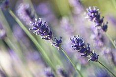 Indoor Lavender Plant Care | Hunker
