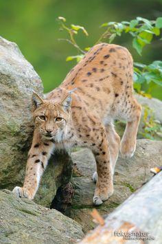 Luchs (Lynx lynx)                                                       …