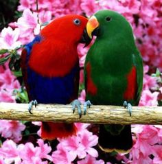 Eclectus parrots, the only species that the male is plainer (?) than the female. Male is green.