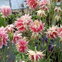 Aquilegia Vulgaris Nora Barlow, Columbine seeds. Full sun-part shade. Looks like a dahlia.