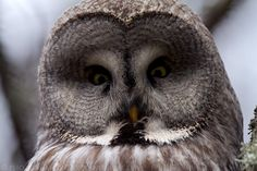 Great Grey Owl, Bergslagen Forest - Sweden. See more on http://facebook.com/giovanni.mari.photography