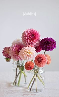 Dahlia Photo Print - flower still life dahlias in jars lifestyle botanical art flower photography wall hanging gifts for her pink by GreengatePhotography on Etsy Ikebana, Deco Floral, Art Floral, Botanical Art, Botanical Flowers, Flower Prints, Planting Flowers, Flowers Garden, Floral Arrangements