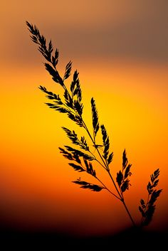 Tall grass silhouetted at sunset, Wisconsin
