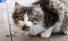 Por qué los gatos traen animales muertos a casa?