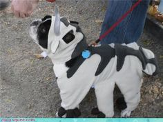 Appa costume! (sorry Vee and all the followers, I couldn't resist. xP)