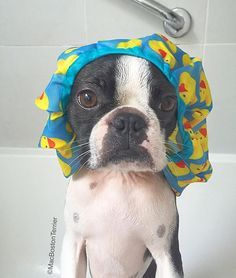 Mac the Boston Terrier ♥