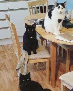 This was the view in my kitchen this morning. Do you get the impression they are waiting for something?  #catsoninstagram by louisetilbrookdesigns