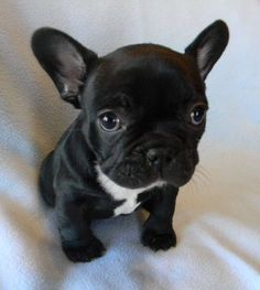 """Get terrific ideas on """"French Bulldog Puppies"""". They are actually offered for you on our internet site. Cute Baby Animals, Animals And Pets, Funny Animals, Cute Puppies, Cute Dogs, Dogs And Puppies, Doggies, Bulldogs Ingles, French Bulldog Puppies"""