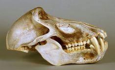 male chacma baboon skull