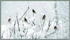 Chardonnerets sous la neige