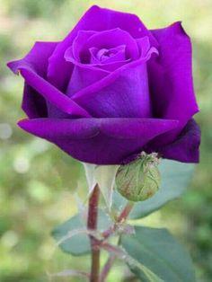 Beautiful Rose Flowers, Amazing Flowers, Colorful Flowers, Purple Flowers, Floribunda Roses, Purple Hibiscus, Rose Sketch, Sweet Violets, Rosa Rose
