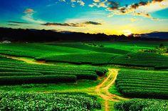 Photograph Beautiful fresh green tea plantation in Vietnam by cristal tran on 500px
