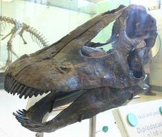 Crâne de Diplodocus