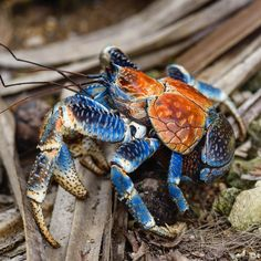 A Robber Crab (Birgus latro) also known as the Coconut Crab. Spotted on our Christmas Island tour this amazing creature is the largest terrestrial hermit crab in the world! Cute Baby Animals, Animals And Pets, Funny Animals, Wildlife Photography, Animal Photography, Underwater Tattoo, Coconut Crab, Ocean Aquarium, Diver Down