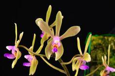 phalaenopsis stobartiana | Phalaenopsis stobartiana - Flickr - Photo Sharing!