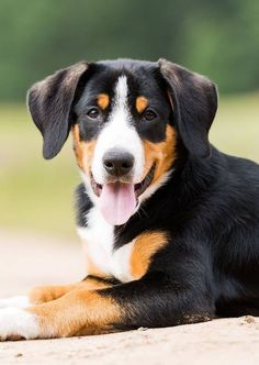 9 Best Appenzeller Mountain Dog Images Mountain Dogs Dogs