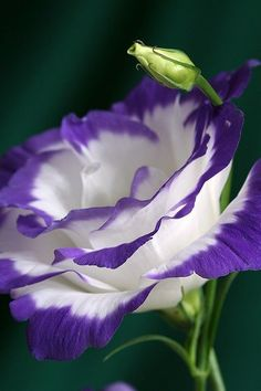 Lisianthus~~Some varieties of this annual look like a blue rose. It's such an elegant flower you'd never guess it's native to American prairies. And lisianthus is one of the best cut flowers -- it will last in the vase for 2 to 3 weeks. Exotic Flowers, Amazing Flowers, My Flower, Purple Flowers, Beautiful Flowers, Cut Flowers, Colorful Roses, Colorful Garden, Beautiful Gorgeous