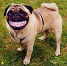 animals with people teeth | Above: As if walking around on their front paws wasn't funny enough, a ...