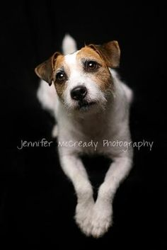 Jack Russell by mona