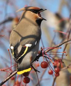 All Newest - Pixdaus   waxwing bird 3 By: Muhamed