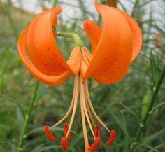 Lilium davidii var. wilmottiae 1 flower