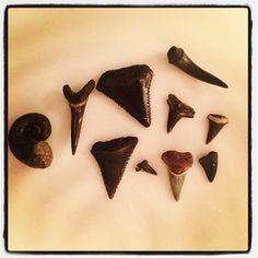 Shark Teeth and Ram's Horn Fossil