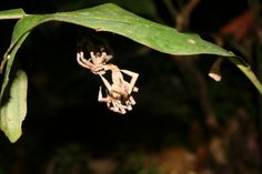 Today we have something pretty rare: a Phoneutria boliviensis molting in our reserve