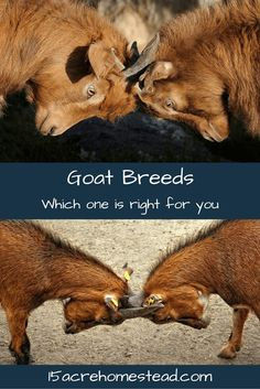Learn a little about the various goat breeds so you can choose the best goat breed for your homestead!
