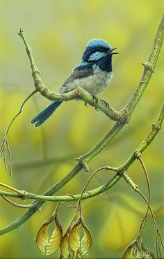 """Whistling the Blues"" Superb Blue Wren by Christopher Pope"