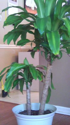 cat safe house plants on pinterest house plants bamboo palm and tropical house plants. Black Bedroom Furniture Sets. Home Design Ideas