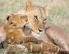 Animal Nursery BABY LION Kissing MOM Photo 8 X 10 by WildBabies