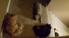 Floof slumber party or yet another reason we leave a light on in the stairwell. http://ift.tt/2lk72OW