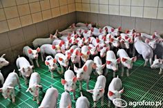 #świnia #świnka #zwierzęta #rolnictwo