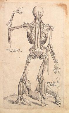 Andreas Vesalius - Anatomical drawings