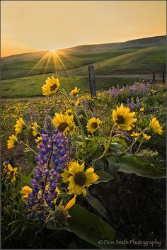 Photograph Lupine and Balsamroot by Don Smith on 500px