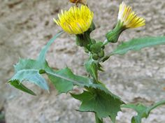 COMMON SOW THISTLE: (Sonchus oleraceus). This photograph was taken in Hopewell Twp., Beaver County, PA on September 27, 2013.