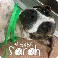 SARAH - URGENT - Alvin Animal Adoption Center in Alvin, Texas - ADOPT OR FOSTER - Adult Female Labrador Retriever/German Shorthaired Pointer Mix