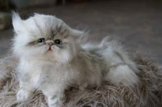 Персидский котенок По Цыбина Natali - Bear Pile