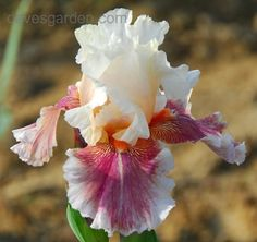 Full size picture of Tall Bearded Iris 'Heavenly Body' (Iris)