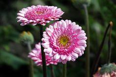 https://flic.kr/p/ELorCN   L1020494 Barberton daisy   「非洲菊」 攝於 : 台中市后里區中社觀光花市 Jong-sheh Sightseeing Flower Market,Taichung Houli District