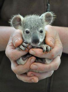 baby koala bear in hands